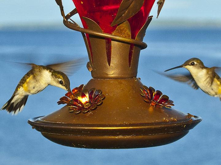 Hummingbird Feeder – Recipe, Homemade Feeder, and more
