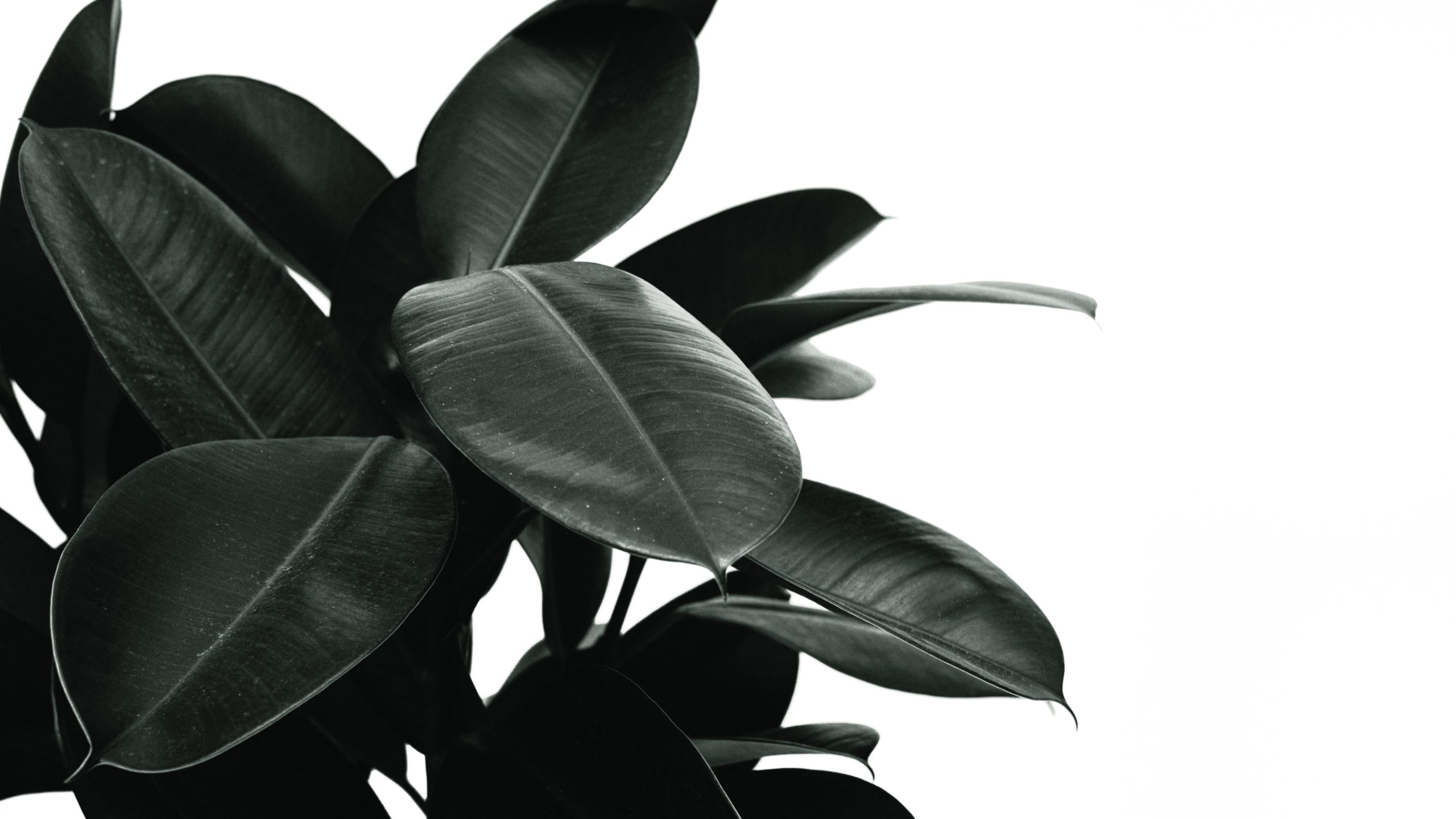 All You Need to Know About Rubber Tree – Tips to Grow and Care for this Indoor Plant