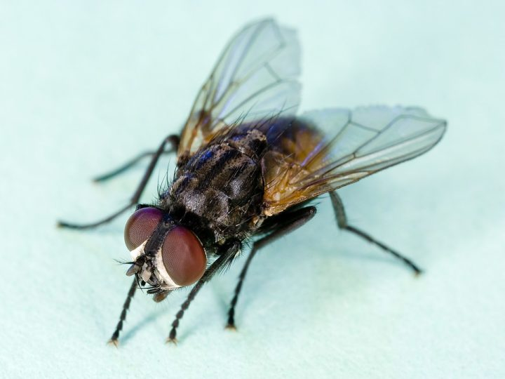 How to Get Rid of House Flies: Home Remedies and Repellents