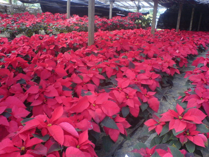How To Take Poinsettia Care? Tips To Re-Bloom Poinsettia For Beginners