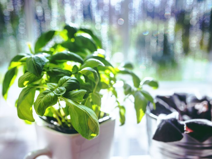 An Ultimate Guide To Basil Plant Care