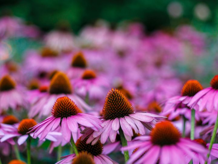 Everything You Need to Know About Echinacea Plant