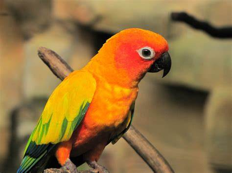 Know More About Sun Conure Bird: Tips To Take Care Sun Conure
