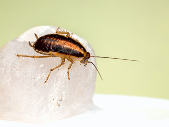 Cockroach Droppings Identification and Reasons For It