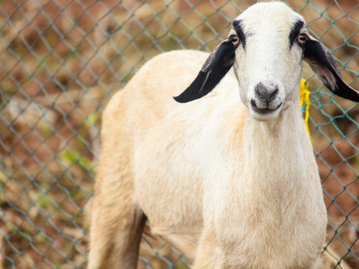 How to Start Goat Farming? – Tips and Benefits of Rearing Goats