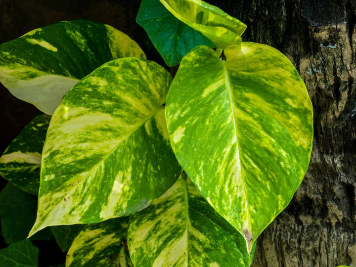 How To Do Devil's Ivy Care: A Complete Guide