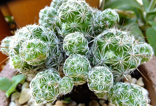 Know More About Thimble Cactus Tips and Care