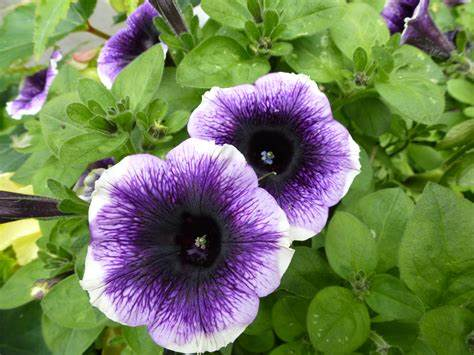 Know 16 Different Types Of Petunia Plants