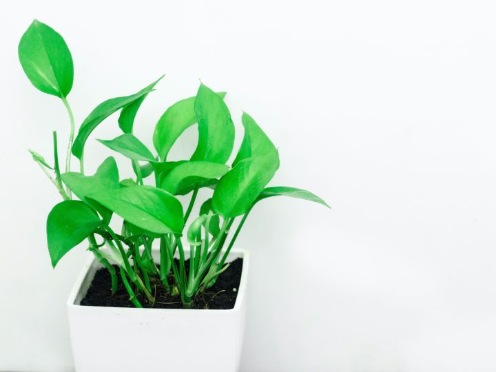 Popular types of pothos That Are Best For Your Home