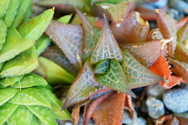 Know-How To Take Care For The Haworthia Succulent