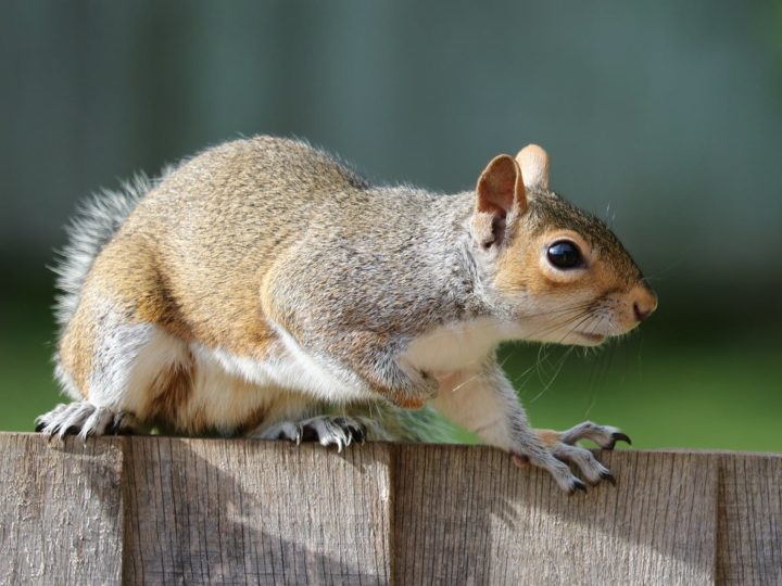 Effective Squirrel Repellent Methods To Keep Them Out Of Your Grden