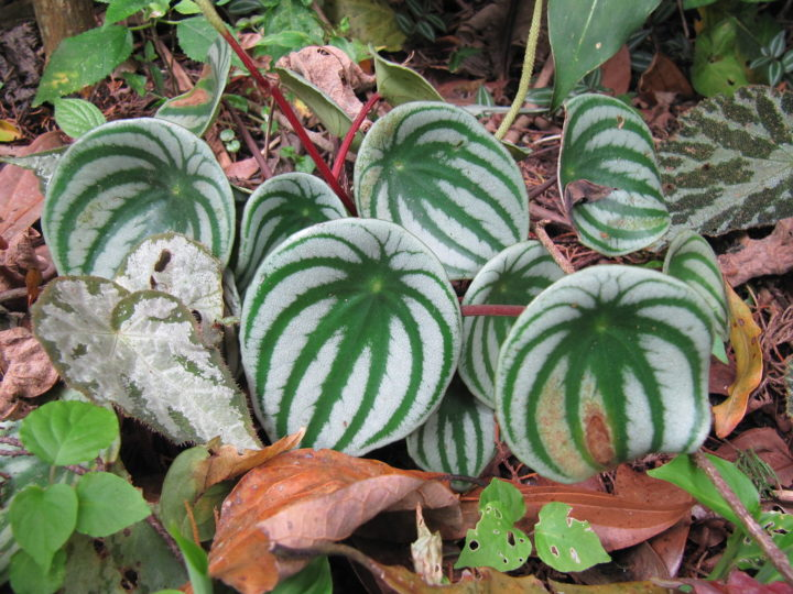 Amazing Tips for WaterMelon Peperomia Care