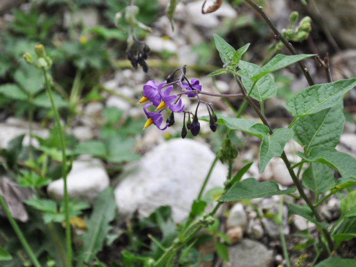 Poisonous Weeds You Should Avoid in Your Garden