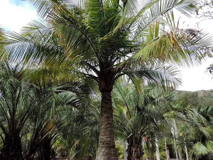 How To Care For Madagascar Palm