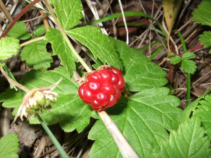 How To Plant And Care For The Raspberry Plant