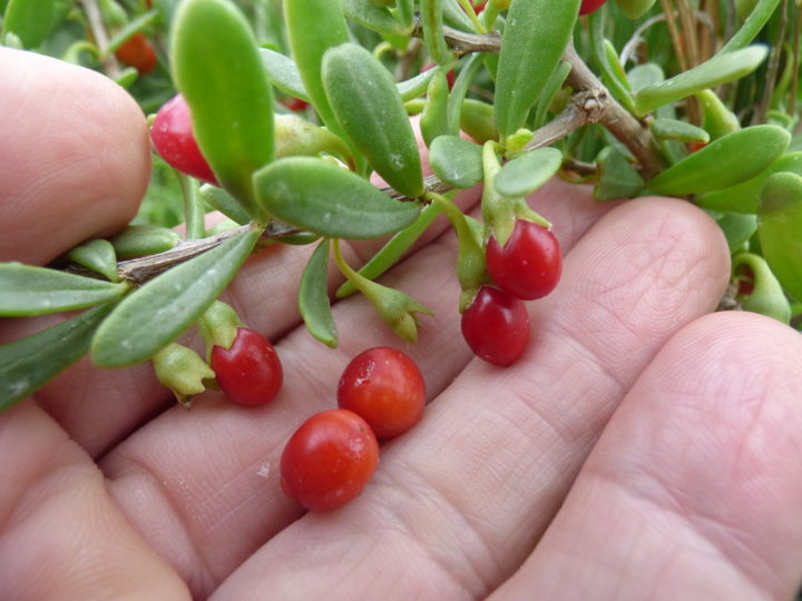 How To Grow And Care For Goji Berry Plant