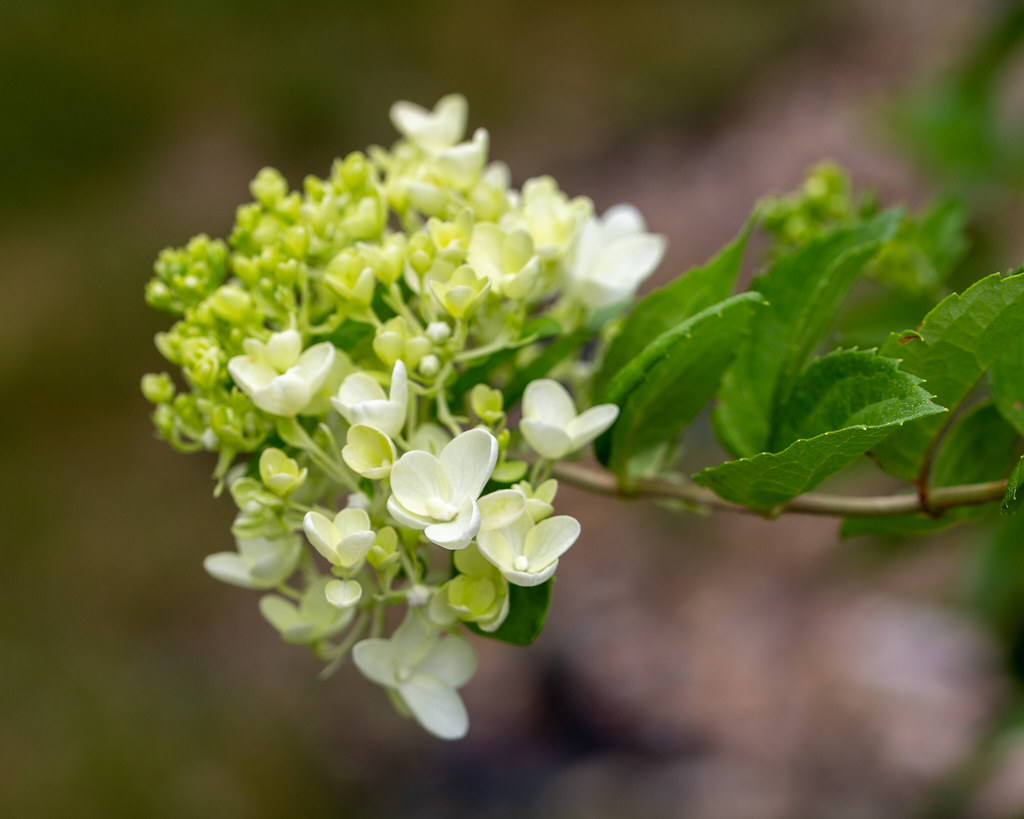 The Ultimate Guide To Growing The Panicle Hydrangea