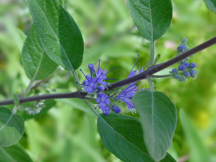 Caryopteris Plant: The Blue Beauty Of Summer Gardens