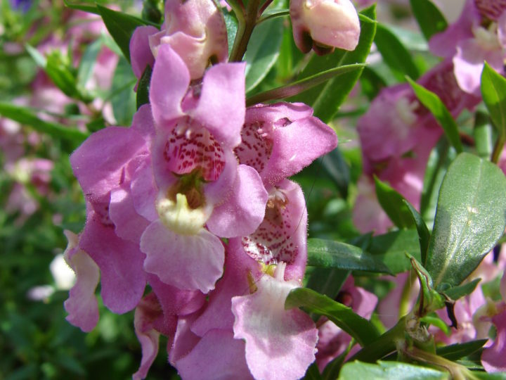 Angelonia Plant: How To Grow And Care For The Annual Beauty